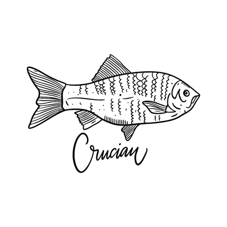 Fish Crucian. Hand drawn vector illustration. Engraving style. Isolated on white background. Design for seafood market, package, poster, banner, t-shirt