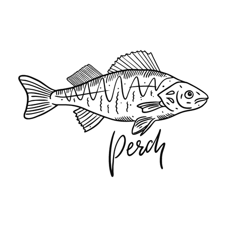 Fish Perch. Hand drawn vector illustration. Engraving style. Isolated on white background. Design for seafood market, package, poster, banner, t-shirt Ilustrace