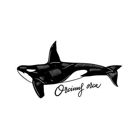 Orca Hand drawn vector illustration. Engraving style. Isolated on white background. Design for seafood market, package, poster, banner, t-shirt