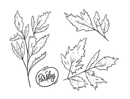 Parsley hand draw herbal sketch vector illustration. Black color engraving style. Vectores