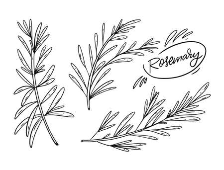 Hand draw black color rosemary set. Engraving style. Sketch vector illustration. Vectores
