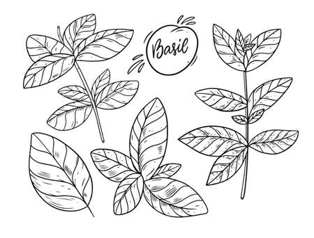Hand draw Basil sketch vector illustration. Engraving style.