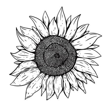 Sunflower hand draw black color vector illustration. Engraving style. Vettoriali