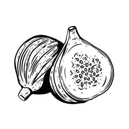 Fig fruit. Hand drawn vintage sketch. Vector illustration.