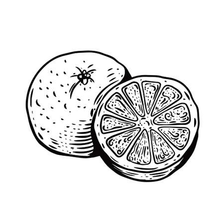 Hand drawn orange fruit. Black color vintage style. 일러스트