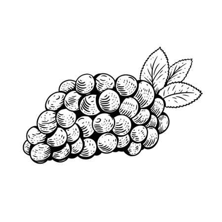 Grape hand drawn black color. Vintage sketch. Vector illustration. 일러스트
