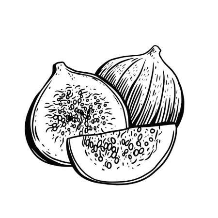 Hand drawn black color fig. Vintage sketch vector illustration.