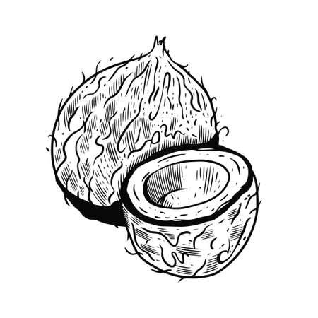Hand drawn coconut sketch. Black color vector illustration.