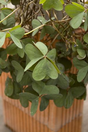 Green clover irish lucky plant Stock Photo - 1703920
