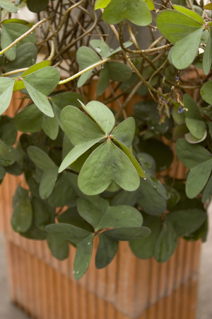 Green clover irish lucky plant photo