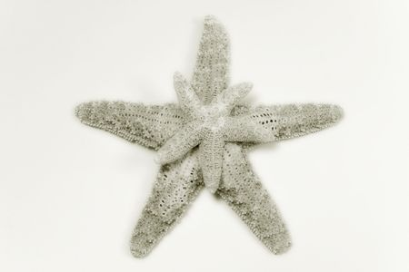 two star sea shells in sepia tone photo