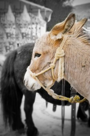 donkey in black and white background photo