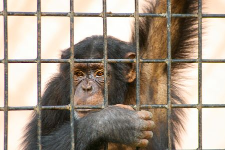 caged chimpanzee in local zoo photo
