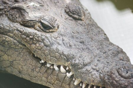 crocodile close up of face photo