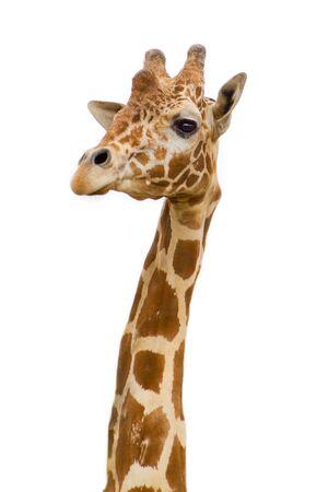 jirafa fondo blanco: jirafa en el zool�gico se enfrentan aislados de antecedentes Foto de archivo