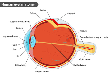 Human eye anatomy, with names