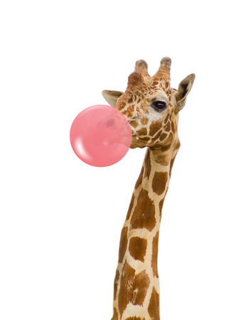 giraffe in zoo isolated chewing pink bubble gum Stock Photo
