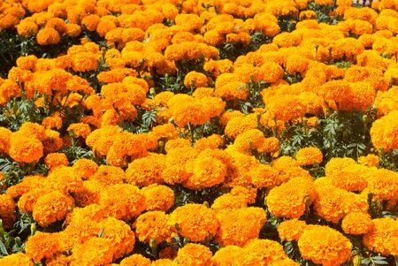 Marigolds Cempasuchil flower field, Dia de muertos