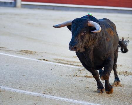 capote: The bull running during a bullfight in Madrid. Plaza de Toros de las Ventas. Spain Stock Photo