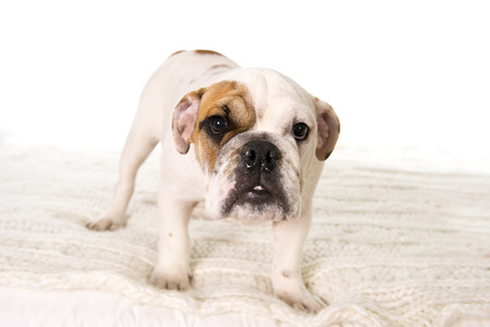 home lighting: young little French Bulldog cub standing on bed at home looking curious at the camera isolated on white background studio lighting in sweet domestic dog pet concept Stock Photo
