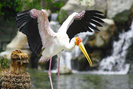 birdwatching: Yellow Stork Bird