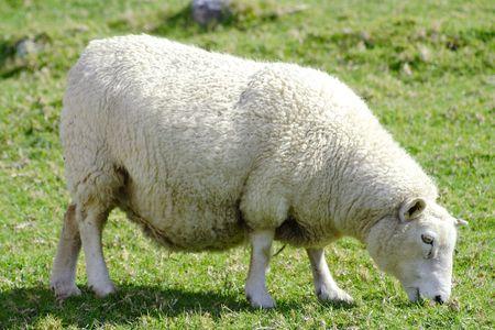 Sheep And Grassland photo