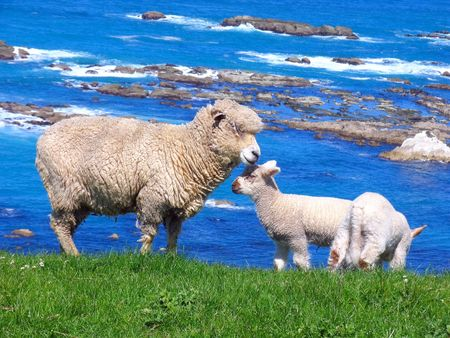 Sheep And Grassland At Seashore Stock Photo