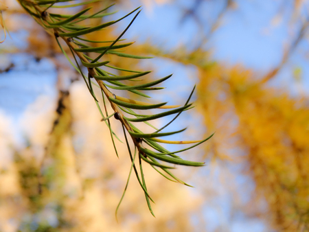 Autumn leaves larch branches yellow and green in the blue sky on a Sunny day