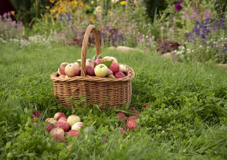 Basket of apples stands on the bright green grass.Apples scattered around.The view from the side.Blurred background.