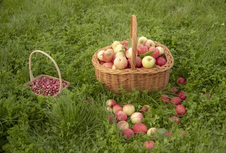 Basket of apples stands on the bright green grass.Apples scattered around. There is a small basket with cranberries next to it.