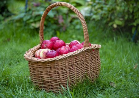 Organic Apples in a Basket outdoor. Orchard. Autumn Garden. Harvest season concept. Harvesting. Picking red apples in summer orchard. Stockfoto