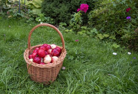 Organic Apples in a Basket outdoor. Orchard. Autumn Garden. Harvest season concept. Harvesting. Picking red apples in summer orchard. Stock fotó