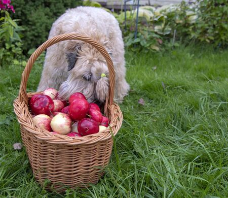 The dog, a wheaten Irish soft-coated Terrier, sniffs apples in a basket. 版權商用圖片