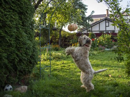 Irish wheat soft-coated Terrier trying to knock down a Halloween pumpkin