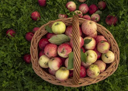 Basket of apples stands on the green grass bright