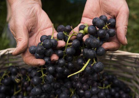 Hände einer älteren Frau, die reife Trauben dunkler Trauben aus dem Korb zieht.