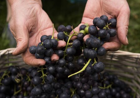 Hands of an elderly woman, pulling out of the basket ripe clusters of dark grapes.