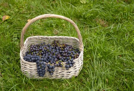 A wicker basket of grapes sits on the bright green grass.Bunches hanging from the basket.