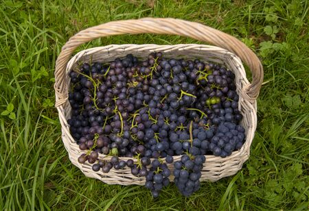 A wicker basket full of black grapes on a green lawn. Top view.