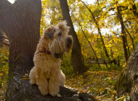 The Irish wheaten soft-coated Terrier sits on a thick curved tree trunk in the autumn forest. 스톡 콘텐츠
