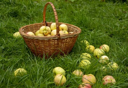 Wicker basket with apples in the thick green grass, a few fruits scattered around