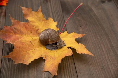 Grape snail on autumn yellow maple leaf, which lies on a wooden Board.
