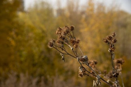 Dry faded burdock on a blurred background.