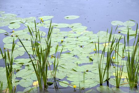 Potbelly yellow, a genus of perennial aquatic plants of the family Nymphaeaceae,Large green leaves and yellow flowers in the reeds on the background of water the color of steel.