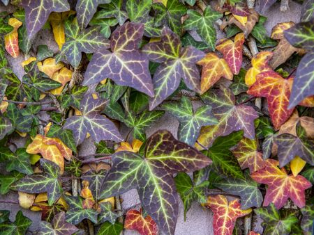 Selective focus.Floral background. Multicolored ivy curls along the rough wall.