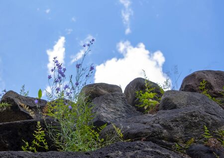 A purple field bell grows on rocks against a blue cloudy sky.