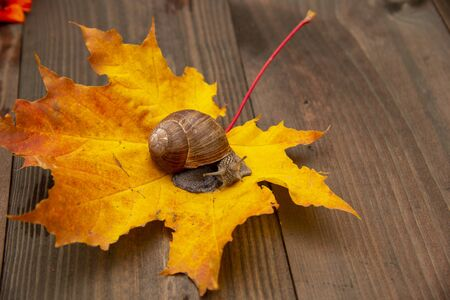 Photo from the series: one day in the life of snails. A snail sits on a bright autumn leaf, on a wooden background.