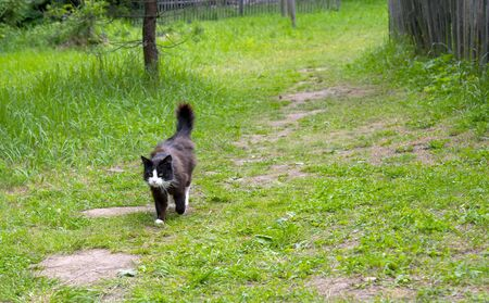 A black-and-white cat walks along a path trampled in the green grass.Tail raised upward. 写真素材