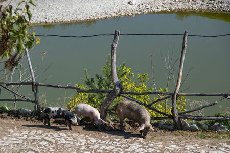 A few pigs walking along the path along the fence above the pond. Stock Photo