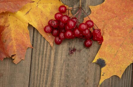 Two bright orange autumn maple leaves and a branch of red viburnum on a wooden background. 스톡 콘텐츠